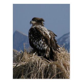 Juvenile Bald Eagle by the Shore Postcards