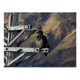 Juvenile Bald Eagle on WWII Telephone Pole Post Cards