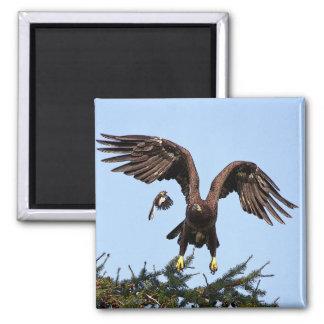 Juvenile Bald Eagle taking off 2 Inch Square Magnet