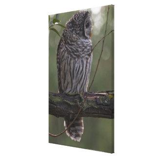 Juvenile Barred Owl (Strix varia) 2 Canvas Print