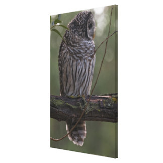 Juvenile Barred Owl (Strix varia) 2 Canvas Print