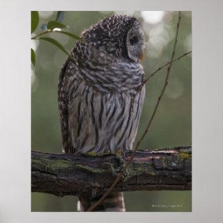 Juvenile Barred Owl (Strix varia) 2 Poster
