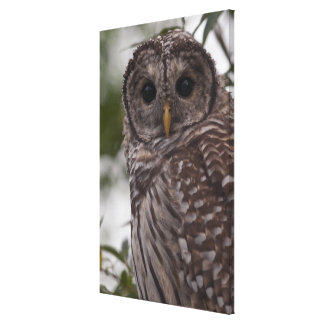 Juvenile Barred Owl (Strix varia) Canvas Print