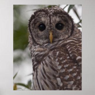 Juvenile Barred Owl (Strix varia) Poster
