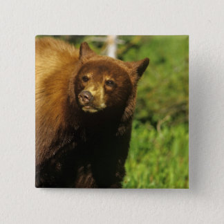 Juvenile black bear at Waterton Lakes National 15 Cm Square Badge