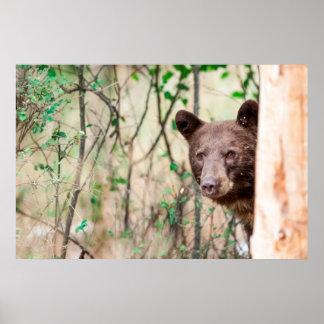 Juvenile Black Bear Portrait, Missoula, Montana Poster