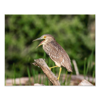 Juvenile Black Crowned Night Heron Photo Art