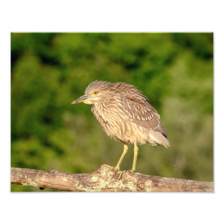 Juvenile Black Crowned Night Heron Photo Print