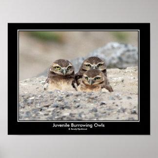 Juvenile Burrowing Owl Poster