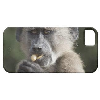 Juvenile Chacma baboon (Papio ursinus) eats nuts iPhone 5 Covers