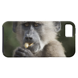 Juvenile Chacma baboon (Papio ursinus) eats nuts Case For The iPhone 5