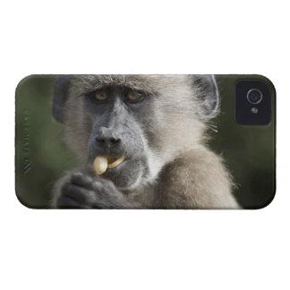 Juvenile Chacma baboon (Papio ursinus) eats nuts iPhone 4 Case-Mate Cases