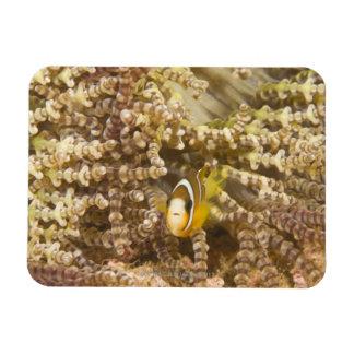 juvenile Clark's Anemonefish (Amphiprion) Magnet