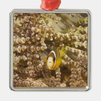 juvenile Clark's Anemonefish (Amphiprion) Silver-Colored Square Decoration