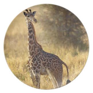 Juvenile Giraffe, Giraffa camelopardalis 2 Plate