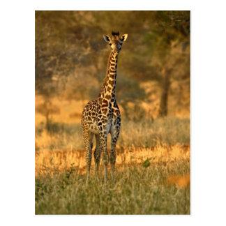 Juvenile Giraffe, Giraffa camelopardalis Postcard