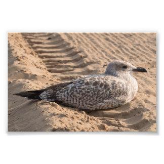 Juvenile Herring Gull Photo