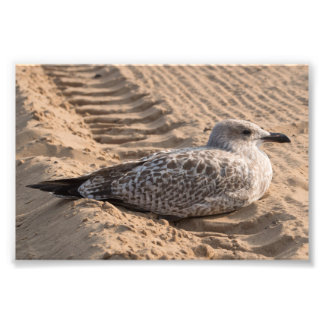 Juvenile Herring Gull Photograph