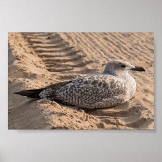 Juvenile Herring Gull Poster
