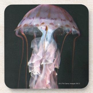 Juvenile jellyfish, Chrysaora (Pelagia) Coaster