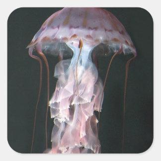 Juvenile jellyfish, Chrysaora (Pelagia) Square Sticker