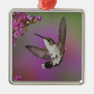 Juvenile male Ruby Throated Hummingbird in Christmas Ornament