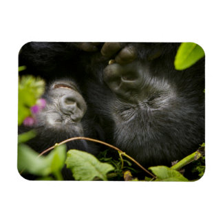 Juvenile Mountain Gorilla and his mother Magnet