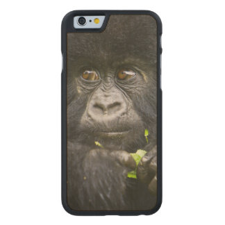 Juvenile Mountain Gorilla feeds on tender leaves 2 Carved Maple iPhone 6 Case