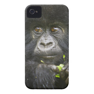 Juvenile Mountain Gorilla feeds on tender leaves 2 iPhone 4 Cover