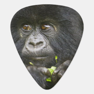 Juvenile Mountain Gorilla feeds on tender leaves 2 Plectrum