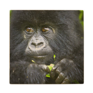 Juvenile Mountain Gorilla feeds on tender leaves 2 Wood Coaster