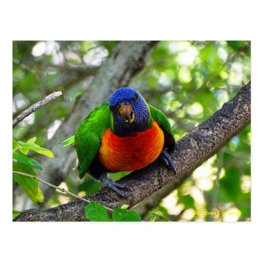Juvenile Rainbow Lorikeet Postcard