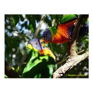 Juvenile Rainbow Lorikeets Postcard