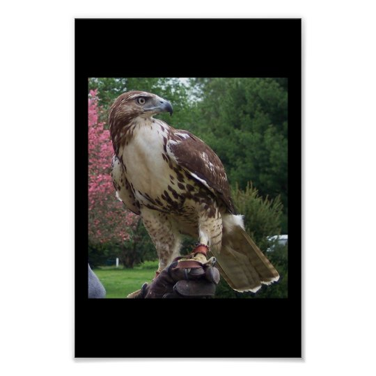 Juvenile Red Tail Hawk Poster