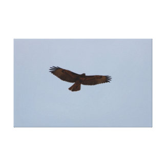 Juvenile Red-Tailed Hawk in Flight Canvas Prints