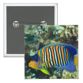 Juvenile Regal Angelfish Pygoplites 15 Cm Square Badge