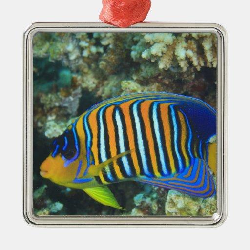 Juvenile Regal Angelfish Pygoplites Ornaments