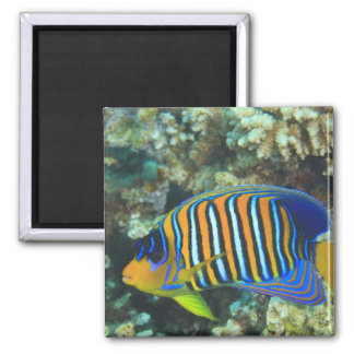 Juvenile Regal Angelfish Pygoplites Magnet