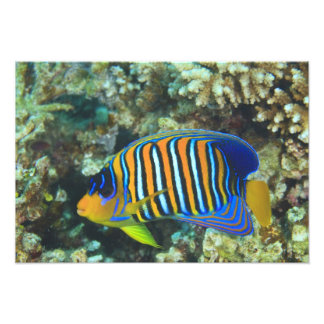 Juvenile Regal Angelfish Pygoplites Photo Print
