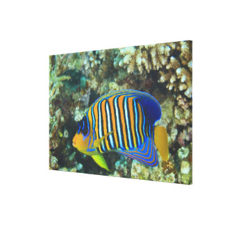 Juvenile Regal Angelfish Pygoplites Stretched Canvas Print