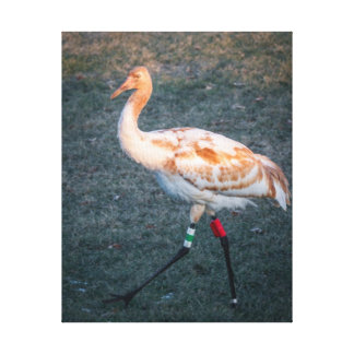 Juvenile Whooping Crane Stretched Canvas Print