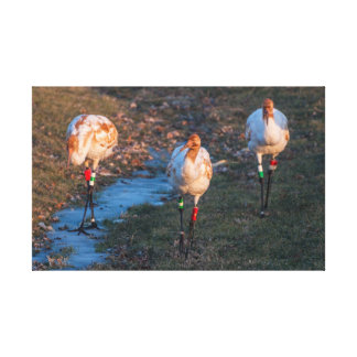 Juvenile Whooping Cranes Canvas Print