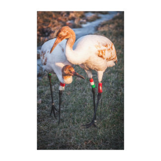 Juvenile Whooping Cranes Canvas Prints