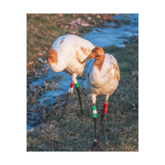 Juvenile Whooping Cranes Stretched Canvas Print
