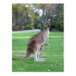 Kangaroo and Joey Post Cards