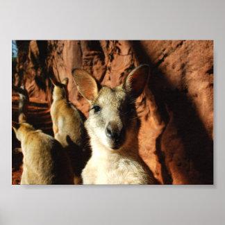 Kangaroo Closeup Poster
