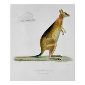 Kangaroo, engraved by Coutant Poster