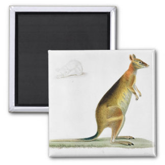 Kangaroo, engraved by Coutant Square Magnet