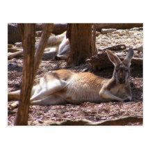 Kangaroo Picnic Postcard