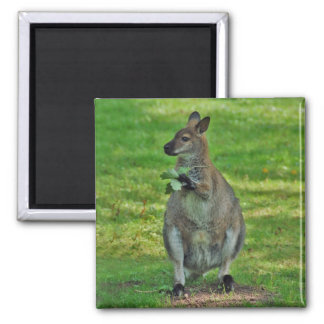 Kangaroos with oaks leaves magnet